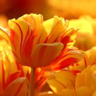 Tulip Season in May - Obrázkek zdarma pro iPad mini