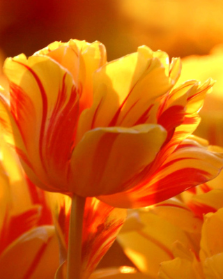 Tulip Season in May - Obrázkek zdarma pro Nokia Asha 303