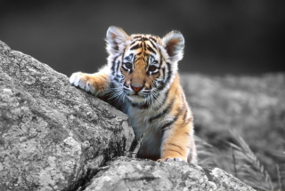 Free Tigers Cub Picture for Android, iPhone and iPad