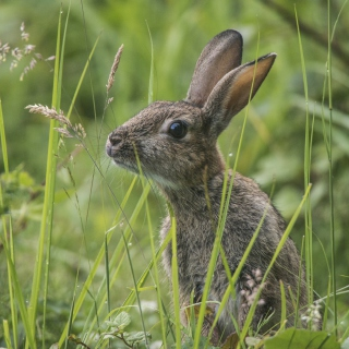Wild Hare - Obrázkek zdarma pro 2048x2048