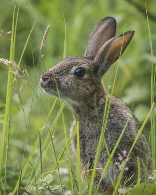 Wild Hare - Obrázkek zdarma pro iPhone 4