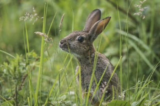 Wild Hare - Obrázkek zdarma pro 1152x864