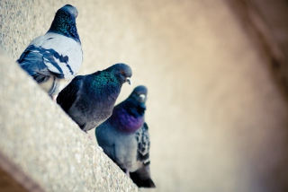 Grey Pigeons Picture for Android, iPhone and iPad