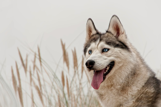 Husky Picture for Android, iPhone and iPad
