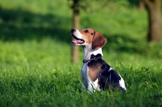 Beagle Dog Background for Android, iPhone and iPad