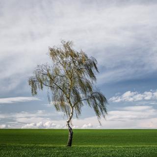 Lonely Birch on Field - Obrázkek zdarma pro iPad