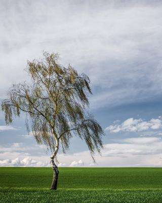 Lonely Birch on Field - Obrázkek zdarma pro 320x480