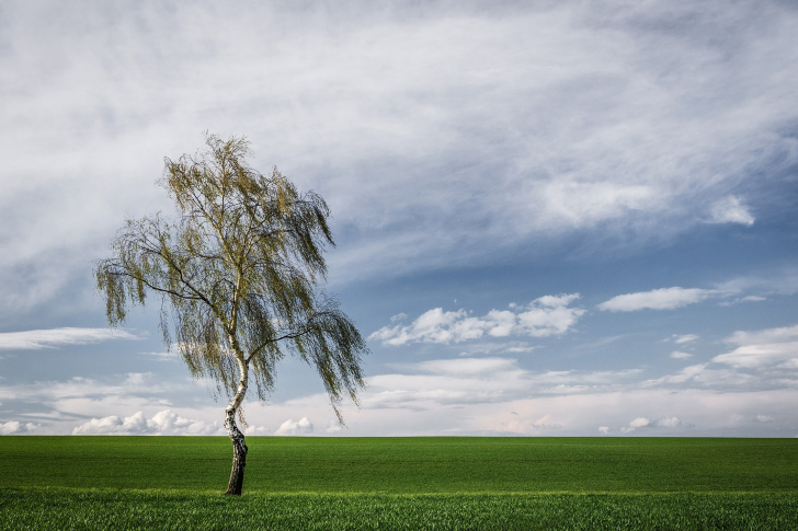 Lonely Birch on Field wallpaper