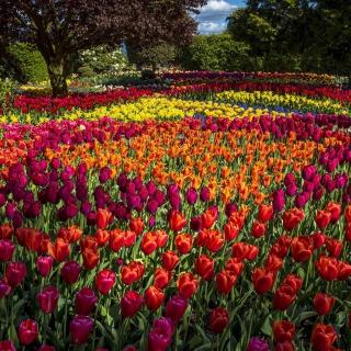 Spring Tulips Garden - Obrázkek zdarma pro iPad mini 2