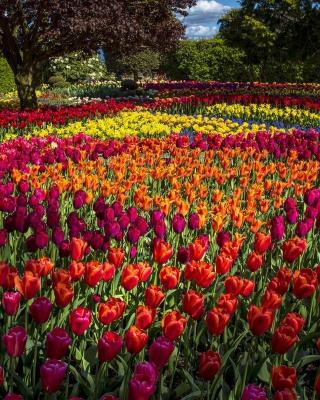 Spring Tulips Garden - Obrázkek zdarma pro iPhone 3G