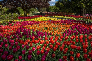 Spring Tulips Garden - Obrázkek zdarma pro Desktop 1920x1080 Full HD