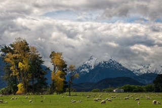 Sheeps On Green Field And Mountain View - Obrázkek zdarma pro 1366x768