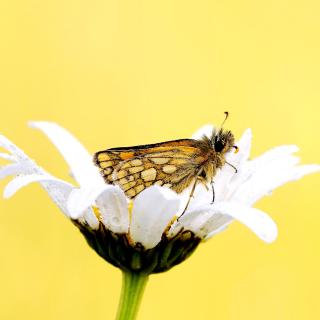 Butterfly and Daisy - Obrázkek zdarma pro 128x128