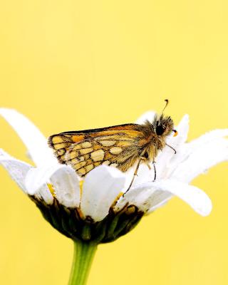 Butterfly and Daisy - Obrázkek zdarma pro 240x320