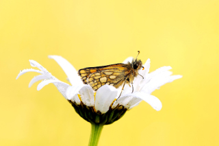 Free Butterfly and Daisy Picture for Android, iPhone and iPad