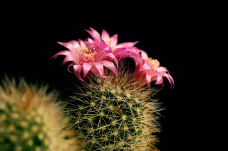 Free Flowering Cactus Picture for Android, iPhone and iPad