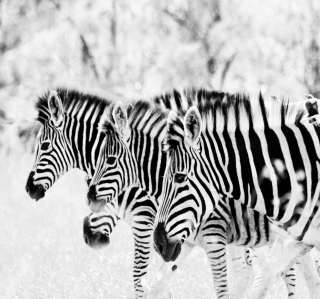 Zebras - Obrázkek zdarma pro 1024x1024