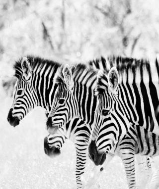 Zebras - Obrázkek zdarma pro Nokia Asha 303