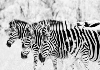 Zebras - Obrázkek zdarma pro Fullscreen Desktop 1400x1050