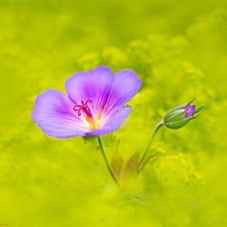 Single wildflower - Obrázkek zdarma pro 1024x1024