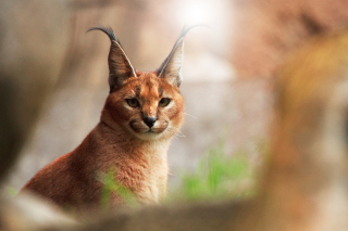Free Lynx In Zoo Picture for Android, iPhone and iPad
