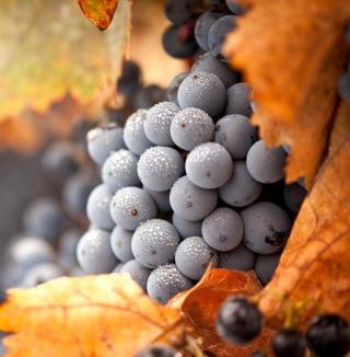 Grapes - Obrázkek zdarma pro 128x128