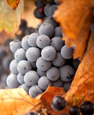 Grapes - Obrázkek zdarma pro Nokia Lumia 2520