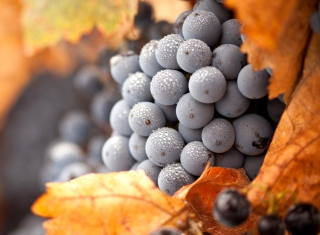 Grapes Background for Android, iPhone and iPad