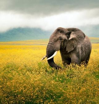 Wild Elephant On Yellow Field In Tanzania - Obrázkek zdarma pro 2048x2048