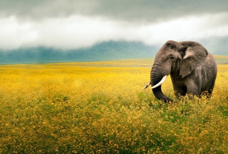 Wild Elephant On Yellow Field In Tanzania - Obrázkek zdarma pro Widescreen Desktop PC 1920x1080 Full HD