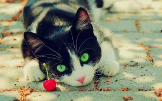 Cat And Cherry Picture for Android, iPhone and iPad