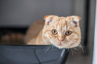 Scottish Fold Wallpaper for Android, iPhone and iPad