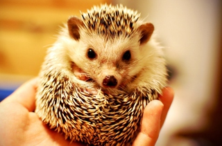 Free Little Hedgehog Picture for Android, iPhone and iPad