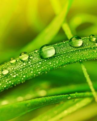 Dew on Grass - Obrázkek zdarma pro Nokia Asha 308