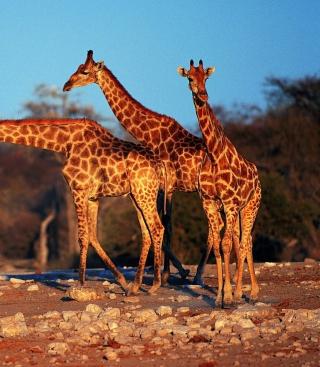 Giraffes - Obrázkek zdarma pro 132x176