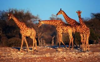 Giraffes - Obrázkek zdarma pro 1680x1050