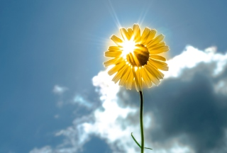 Sunny Flower Wallpaper for Android, iPhone and iPad