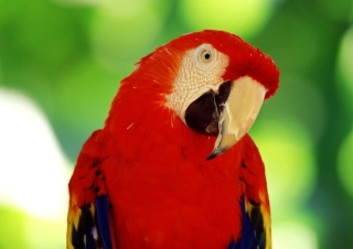 Scarlet Macaw Parrot Wallpaper for Android, iPhone and iPad