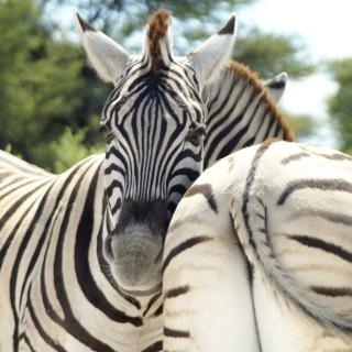 Zebra - Obrázkek zdarma pro iPad Air