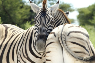 Zebra - Obrázkek zdarma pro 720x320