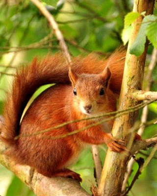 Squirrel in Taiga - Obrázkek zdarma pro Nokia C5-05