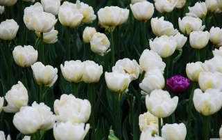 Field Of White Tulips Wallpaper for Android, iPhone and iPad