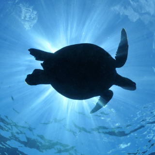 Turtle near Maldives - Obrázkek zdarma pro 128x128