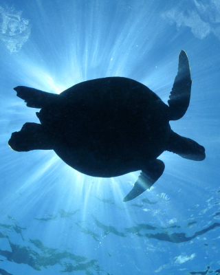 Turtle near Maldives - Obrázkek zdarma pro Nokia Asha 202
