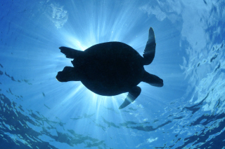 Turtle near Maldives Wallpaper for Android, iPhone and iPad