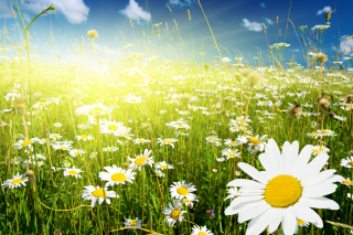 Free Camomile Field Picture for Android, iPhone and iPad