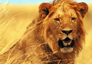 Wild Lion Picture for Android, iPhone and iPad