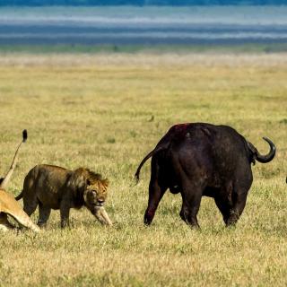 Lions and Buffaloes - Obrázkek zdarma pro 320x320