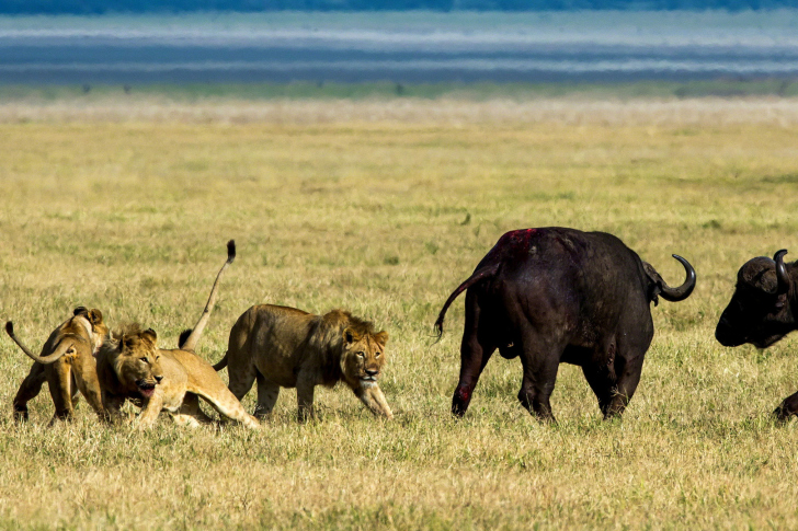 Lions and Buffaloes wallpaper