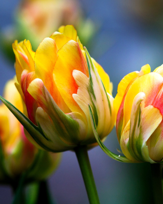 Spring Tulips HD - Obrázkek zdarma pro Nokia Asha 303